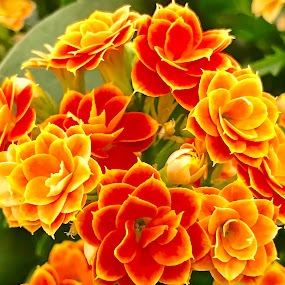 Flowers in the garden by Alesanko Rodriguez - Flowers Flower Gardens ( plant, season, nature, summer, beauty, botanical, florals, flowers, spring, garden, close-up )