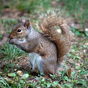 by Anita Frazer - Animals Other Mammals ( eastern gray, squirrel, mammal, animal,  )