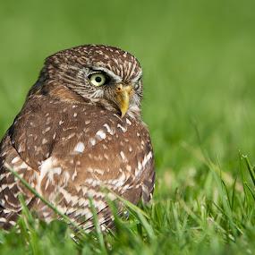 Little Owl by Leticia Cox - Animals Birds ( birds of prey, animals, wildlife, nikon, birds, owls,  )