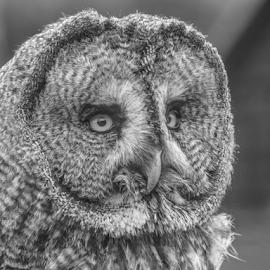 Great Grey by Garry Chisholm - Black & White Animals ( bird of prey, nature, owl, garrychisholm, raptor, great grey )