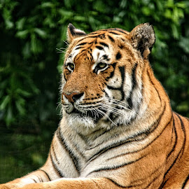 PWP tiger 33 by Michael Moore - Animals Lions, Tigers & Big Cats