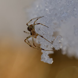 Looking for spring by Michaela Firešová - Animals Insects & Spiders ( detail, macro, ice, snow, spider )