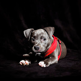 Nala 2 by Sabrina Causey - Animals - Dogs Portraits ( blue, american bully, puppy, dog, portrait )