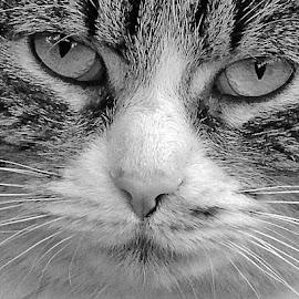 ZUZA by Wojtylak Maria - Animals - Cats Portraits ( cat, pet, head, portrait, animal )