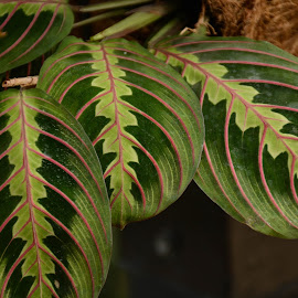 Fancy Leaves by Robert Coffey - Nature Up Close Leaves & Grasses ( plant, green, botanical, leaves, veins )