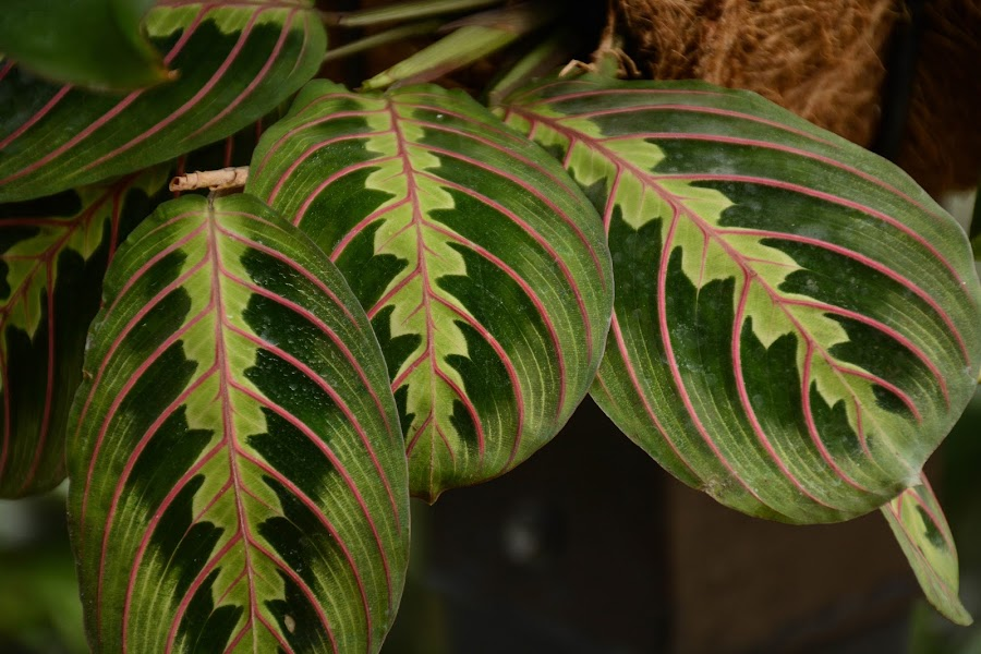 Fancy Leaves by Robert Coffey - Nature Up Close Leaves & Grasses ( plant, green, botanical, leaves, veins,  )
