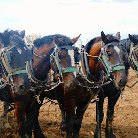 8 team horses by Jon Radtke - Animals Horses ( 8 team horses )