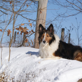HayLee posing  by Teresa Flowers Wolford - Animals - Dogs Portraits ( dogs, heaven, beautiful, love, angel, girl, spoiled, nature, rainbow bridge, awesome, pretty girl, snow, shetland sheepdog, adorable, cute dog,  )