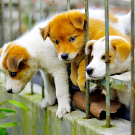 Three puppies trapped on the fence my neighbors by Kriswanto Ginting's - Animals - Dogs Puppies ( puppies, nikon d3100, indonesia, puppy, puppy portrait )