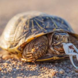 Hungry Turtle by Jim Talbert - Animals Reptiles ( lizard, nature, box turtle, turtle, kansas )