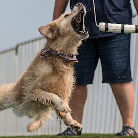 Dog Games by Patrick Barron - Animals - Dogs Playing ( playing, jumping, battle creek, dog, competition )