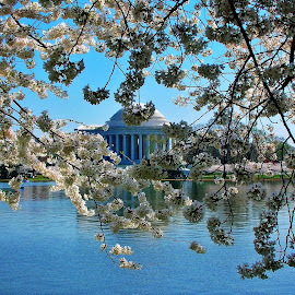 Jefferson Memorial and cherry bloosoms by Mary Gallo - Buildings & Architecture Public & Historical ( building, cherry bloosoms, washington dc, historical )