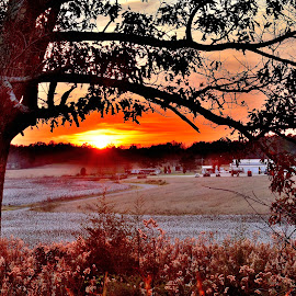 Under The Bough and Over The Cotton Field by Mark Clark - Landscapes Sunsets & Sunrises ( clouds, cotton, orange, hdr, green, sunset, white, agriculture, trees, limbs, sun,  )