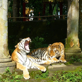 Bwahahaha at Taman safari Prigen,East Java,Indonesia by Wayne Duplessis - Animals Lions, Tigers & Big Cats ( laugh, indonesia, safari, east java, tigers, prigen, stripes, taman, teeth, yawn )