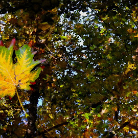 Autumn III by Campbell McCubbin - Nature Up Close Leaves & Grasses ( tree, autumn, fall, leaf, leaves, pond )