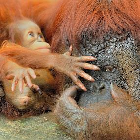 Orangutan by Tomasz Budziak - Animals Other Mammals ( animals, orangutan,  )