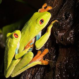 Red Eyed Tree Frogs Getting On by Barry Carter - Animals Amphibians ( animals americas, frog, red eyed tree frog, agalychnis callidryas, mating, amphibians )