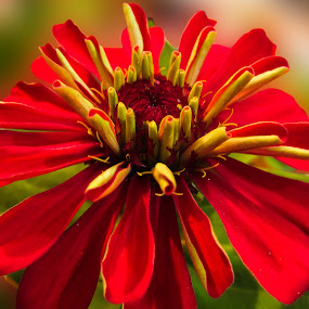 Red Zinnia by Aamir Soomro - Nature Up Close Flowers - 2011-2013 ( karachi, green, close up, spring, pakistan, macro, zinnia, flowers & plants, red, nature, flowers, zinnia flower, flower,  )