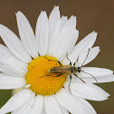 Longhorn Beetle on Oxeye Daisy