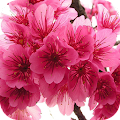 Japanese Cherry Tree Wallpaper APK for Ubuntu