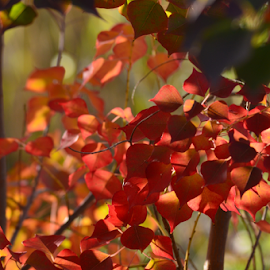 Floating reds by Benito Flores Jr - Nature Up Close Trees & Bushes ( red, leaves, fall, texas, killeen, trees )