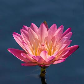 Blue Sky Reflection by Sue Matsunaga - Flowers Single Flower