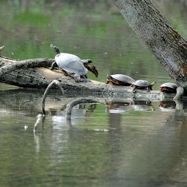 Coming.....Going?  Make up your mind! by Barbara Langfeld - Animals Amphibians ( water, reflection, animals, park, wildlife, humor, lake, turtles, arboretum, spring, amphibians )