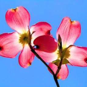 by Teresa Wooles - Nature Up Close Gardens & Produce ( dogwood, pink dogwood,  )