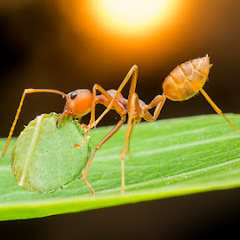 Ant 150327A by Carrot Lim - Animals Insects & Spiders (  )