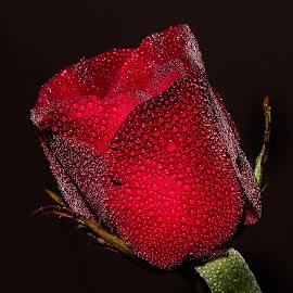 by Markos  Focus - Flowers Single Flower ( flower photography, flower macro, flower closeup, flower, flower nature )
