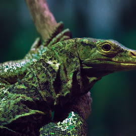Monitor in the Lair by David Hammond - Animals Reptiles ( climbing, monitor, captive, lizards, large )