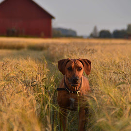 Chloe The ridgeback  by Cecilia Hjärtmyr - Animals - Dogs Portraits ( rhodesian ridgeback rhodesianridgeback rr liondog dog nature photo portrait landscape sweden field )