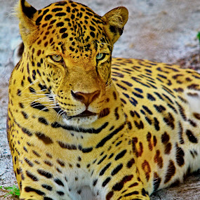 T o t o l by Palti Siregar - Animals Lions, Tigers & Big Cats