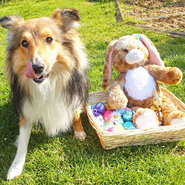 Easter Sheltie!!! by Fiona Etkin - Public Holidays Easter ( canine, chocolate, eggs, easter, pet, shetland sheepdog, tongue out, dog, easter bunny, sheltie )