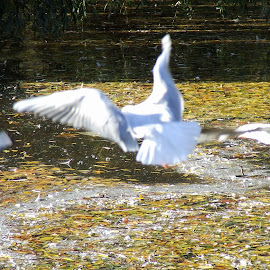 by Serguei Ouklonski - City,  Street & Park  City Parks ( seazon, water, uk, london, park, autumn, leaves, regent's park )