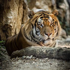 I see you by Alessio Coluccio - Animals Lions, Tigers & Big Cats ( nature, tiger, eye, animal )