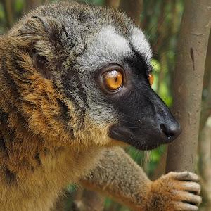 lemury9..jpg