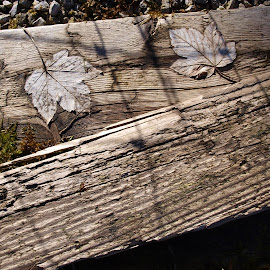 Dried Leaves & Shadows on Planks by Gillian James - Nature Up Close Leaves & Grasses ( planks, dried leaves, moss, shadows, boards )