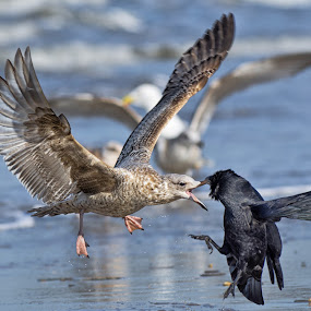 Dispute at the beach by Friedhelm Peters - Animals Birds