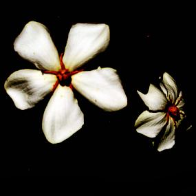 twin white flowers by Edward Gold - Flowers Single Flower ( white, black backgrownd, orange center )