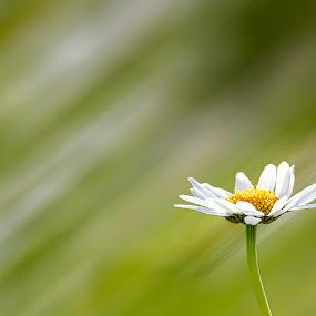 Margherita by Sabina Lombardo-Salmina - Flowers Flowers in the Wild ( love, white flower, green, margherita, daisy, yellow, garden,  )