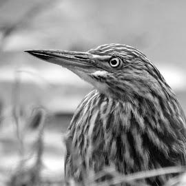 Heron  by Asif Bora - Black & White Animals (  )