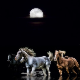 Les chevaux de la nuit by Daniel Thomas - Digital Art Animals ( water, moon, horses, reflections, night, moonlight, animal )