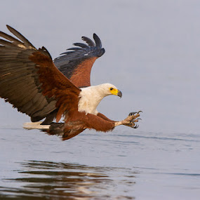 Fish Eagle incoming  by Brendon Cremer - Animals Birds ( fish eagle, eagle, fish, fishing )