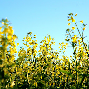 Canola galore by Adell du Plessis - Landscapes Prairies, Meadows & Fields ( field, up close, canola, green, yellow )