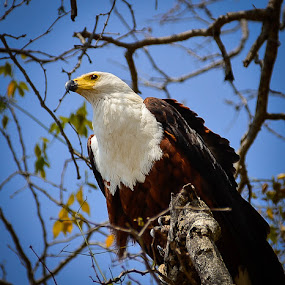 Fish Eagle by Hannes van Rooyen - Animals Birds ( eagle, fish, male, africa, knp )