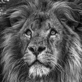 The king by Garry Chisholm - Black & White Animals ( lion, nature, kent, garrychisholm, smarden, big cat sanctuary, king, mammal )