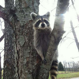 Jasper  by Teresa Flowers Wolford - Animals Other ( tree, pet, beautiful, rescue, trees, wildlife, adorable, learning, raccoon,  )
