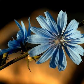 Синя усмивка by Dobrinka Ivanova - Flowers Single Flower ( цвете )