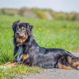 Spring walk by Axel K. Böttcher - Animals - Dogs Portraits ( australian shepherd )